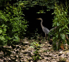 Heron (mlomax1) Tags: bird heron nature canon stones wildlife eos600d