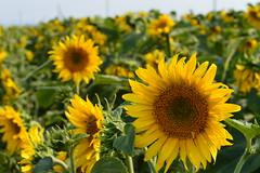 (michelle cattaneo) Tags: flowers sun flower verde green yellow giallo fiori sole fiore girasole girasoli pianta