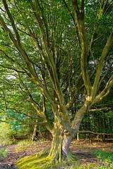 Buche am Fischteich - 2016 - 0012_Web (berni.radke) Tags: tree giant baum beech buche colossus riese fischteich dlmen hausdlmen