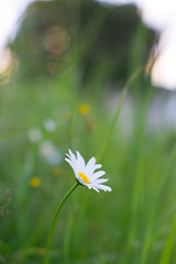 Dreamy Flower (Bowske) Tags: flowers light sunset summer sun flower nature photography 50mm open takumar bokeh outdoor sony low wide alpha smc alpha7 sonya6000