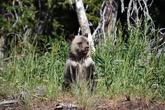 Grizzly Bear Cub 2, Yellowstone (morston_max) Tags: yellowstone griz cub grizzlybear