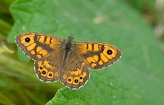 Wall Brown  (Lasiommata megera). (Bob Eade) Tags: butterflies seaford southdownsnationalpark wallbrown lasiommatamegera male macro lepidoptera eastsussex nature wildlife insect summer sussex downland brown butterfly