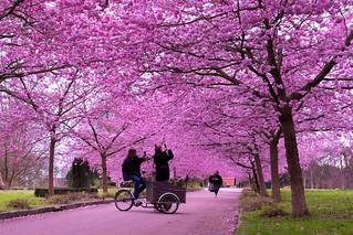 Bispebjerg Kirkegard - Cherry Blossoms