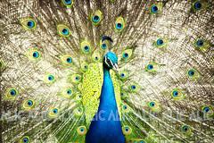 01 (ALIC - Comunicaciones) Tags: santa animals de real zoo la colombia avestruz zoológico animales fe cristo imagen medellín pavo alic a