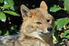 Canis aureus (JGOM) Tags: netherlands zoo arnhem nederland burgers burgerszoo dierentuin dierenpark burgersdierenpark