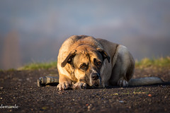 Liegender Hund (Love M.D.) Tags: morning dog animal animals rising tiere nikon andreas hund di lying tamron morgen vc usd tier 456 70300 demande aufgang liegt d7100