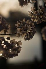 (.) Tags: sunset flower nature japan spring   sakura