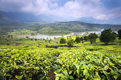 Indian Tea (Tracey Whitefoot) Tags: plants india landscape march tea south kerala southern crop plantation vista tracey munnar plantations 2015 whitefoot