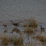 Greater and Lesser Yellowlegs thumbnail