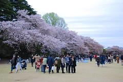 櫻。新宿御院 (ArthurJo) Tags: tokyo 桜 sakura 東京 shinjukugyoen 櫻花 櫻 新宿御院