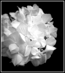 Hortensia (26-04-2015). (Dynaries) Tags: flowers bw white black flower moments remember sony things hydrangea z1 bloemen compact bloem hortensia 2015 macrophylla xperia