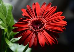 Valentine Gerbera Daisy III (N. S. Gittings) Tags: flowers daisies gerbera daisy gerberadaisies tamron18270mm nikond7000