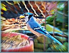 Zoom in--Grab that nut! (MissyPenny) Tags: bluejay birdsinpennsylvania