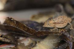 Palleon nasus (the-moof) Tags: animal reptile lizard chameleon madagascar brookesia brookesianasus palleonnasus palleon