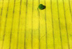 Full Bloom (Aerial Photography) Tags: tree field yellow by landscape spring mood landwirtschaft feld aerial rape alternativeenergy gelb ba agriculture landschaft raps baum singletree stimmung luftbild luftaufnahme colza einzelbaum burgebrach alternativeenergie ackerbau ofr 16051997 agrarlandschaft blã¼te frã¼hling fotoklausleidorfwwwleidorfde 9783862220472 hochã¼berbayern 050006408 dietendorf vgburgebrach