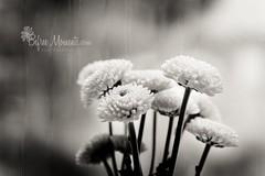 Rain and flowers in a window (alyssavinyard) Tags: flowers blackandwhite bw white black window rain petals pane bnw