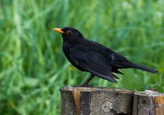 Common Blackbird (weird-osaka) Tags: bird turdusmerula blackbird vogel merel eurasianblackbird commonblackbird