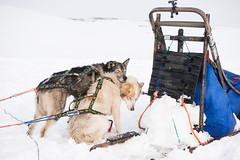 Svalbard 2016-420 (Cal Fraser) Tags: dog cute dogs norway svalbard arctic sj sleddog sledge spitzbergen sledgedog sledgedogs svalbardandjanmayen