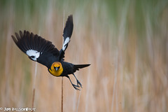 yellow headed blackbird mother's day 20162 (1 of 1) (cuddleupcrafts) Tags: black bird nature yellow photo spring image wildlife flight headed