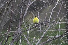 Fuzzy Branch Sitter (Totally Realistic Visionz) Tags: bird nature birds spring michigan finch birdwatching yellofinch