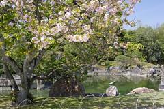 (nobuflickr) Tags: japan cherry spring kyoto      nijoujoucastle 20160412p1050410