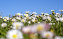 Daisies everywhere (Wouter de Bruijn) Tags: flowers flower color nature grass daisies spring outdoor vibrant daisy fujifilm xt1 fujinonxf35mmf14r