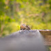 Chipmunk Hoover