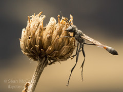 Ammophila (Sean McCann (ibycter.com)) Tags: sleeping wasp threadwaistedwasp ammophila sphecidae