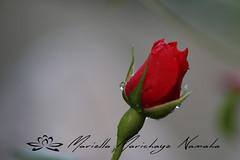 Red rose (Namast Mari) Tags: red roses baby rose garden rosa drop dew rugiada goccia rossa profonditdicampo