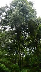 DSCN1433 (VerlynC) Tags: tree falling hickory
