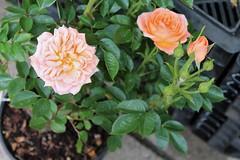 Rose Plant Stall Victoria Hall Oakham Rutland (@oakhamuk) Tags: rutland oakham victoriahall plantstall martinbrookes
