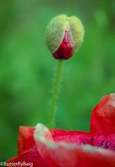 Where ever life plants you bloom with grace.       #Life #LifeLessons #Love #Bloom #Grace #PoppyBud #Poppy #PoppyField #WildPoppies #WildFlowers #Flower #Red #FieldsOfRed #Contrast #Pattern #PatternLife #Nature #NatureLover #InstaNature  #FlowersOfInstagr (Sarwat Baig) Tags: life red flower love nature beautiful contrast pattern grace potd poppy bloom wildflowers lifelessons naturelover poppyfield poppybud wildpoppies fieldsofred patternlife instaflower instanature flowersofinstagram