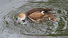 DSC08617_DxO (Franck Zumella) Tags: reflection bird water rouge duck eau teal bec reflexion oiseau canard brun mottled redbilled