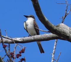 Anglų lietuvių žodynas. Žodis gray kingbird reiškia pilka kingbird lietuviškai.