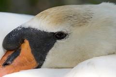 (Annette Rumbelow) Tags: water pen swan feathers swans naturereserve cob cygnets nesting swannery beautifulfeathers abbotsburyswannerydorset annetterumbelowwilson swansfreetofly siteofspecialscientificinterestsssiaspecialprotectedspaandaspecialareaofconservationsac