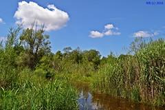 DSC_0184n wb (bwagnerfoto) Tags: summer sky green reed nature water landscape austria nationalpark outdoor ufer landschaft tjkp nyr lobau donauauen vzpart nd