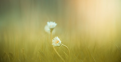 Daisy (Dhina A) Tags: prime reflex bokeh sony sp daisy 500mm tamron f8 ad2 mirrorlens catadioptric adaptall2 sonyalpha tamronsp500mmf8 55bb a7rii a7r2 ilce7rm2