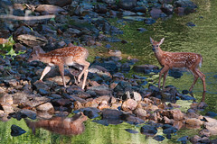 White-tailed deer fawns (Tiny Wallet Photography) Tags: deer fawns whitetailed