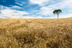 Lost in a grain field (zizzyphotobox) Tags: sky tree clouds skyscape landscape gold nuvole grain valle cielo valley tuscany toscana albero oro grano