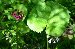 (*suika *) Tags: lightshadow  greenleaf butterbur   beginningsummer freshcolour d