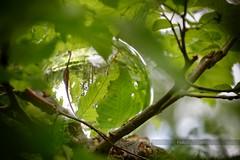 (Px4u by Team Cu29) Tags: ast laub makro blatt wald reflexion baum buche glaskugel hecke zweig