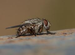 Pollenia sp. (Fotografa de Naturaleza de Paco Moreno Gmez) Tags: parque naturaleza fauna flora natural huelva andalucia sierra mosca picos fotografa diptera aracena diptero aroche