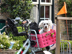 Candid of a Dog (d_t_vos) Tags: street pink blue orange dog white cute travelling colors bike bicycle fence eyecontact colours wind box candid flag seat watching streetphotography streetportrait windy curly poodle childrens ameland coloured curlyhair doggie steeringwheel watchingme hollum dickvos dtvos bikessteeringwheel olvertpieterlapstraat