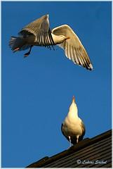 Looking Up To You (lukiassaikul) Tags: wildlifephotography wildanimals wildbirds urbanwildlife birds largebirds gulls seagulls herringgulls sky roof flight birdinflight