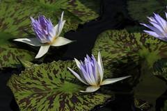 Canon212255 (godrudy6661) Tags: flower neworleans waterlillies noma citypark neworleansmuseumofart