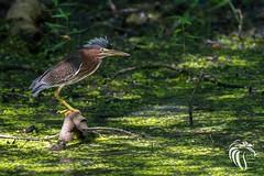 Green Heron of Allaire - 4 (RGL_Photography) Tags: birds us newjersey unitedstates wildlife monmouthcounty jerseyshore ornithology mothernature gardenstate walltownship wildlifephotography allairestatepark nikond500 allairevillage nikonafs200500mmf56eedvr