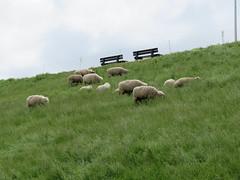 ckuchem-0222 (christine_kuchem) Tags: tiere weide meer gras kste schaf deich herde schafherde nutztier