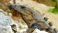 Naturally Enhance Mexican Lizard (Eye of Brice Retailleau) Tags: travel nature animal animals fauna composition mexico colours angle outdoor earth reptile wildlife details profile scenic tulum lizard iguana mexique colourful extrieur iguane lezard animaladdiction fantasticwildlife