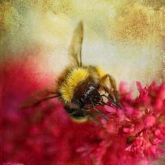 30//52 Bizzy bee (NikkiNakkiNoo365) Tags: bee flower pink texture distressed fx tarnished macro close up tamron 90mm canon 1100d summer nature wildlife pollenation garden
