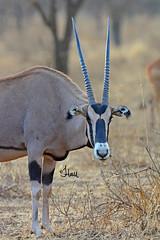 Oryx Buck - 7577b+ (Teagden (Jen Hall)) Tags: africa wild male nature nikon october kenya african wildlife horns safari antelope oryx tsavo naturephotography kenyasafari africansafari africanwildlife africasafari africanplains wildlifephotography africansavannah tsavowest 2013 africanantelope taurotragusoryx kenyawildlife fringeeared fringeearedoryx jenniferhall jenhall eastafricanoryx safarisunday kenyaplains oryxbuck jenhallphotography jenhallwildlifephotography